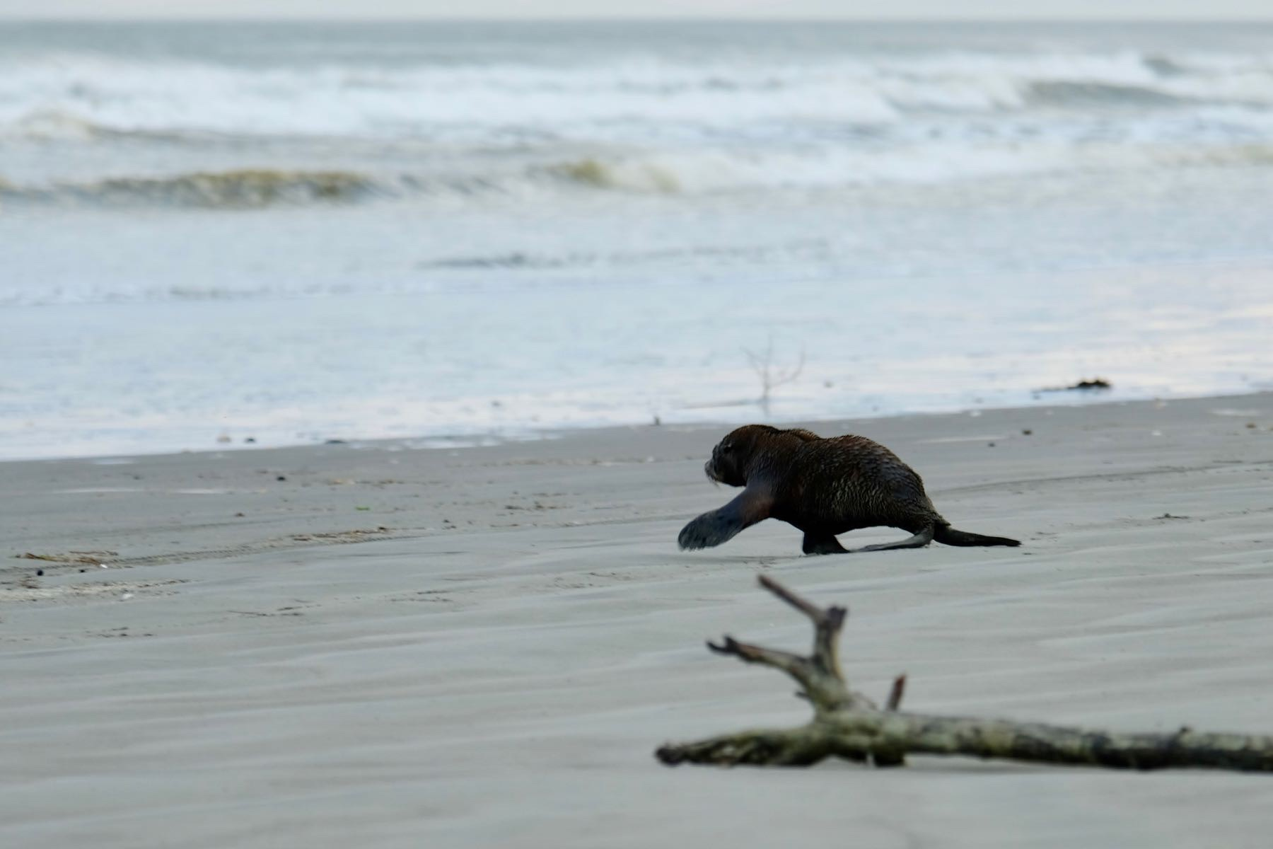 Seal pup loping across the beach.