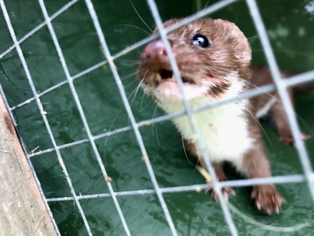 Angry stoat trapped behind wire.
