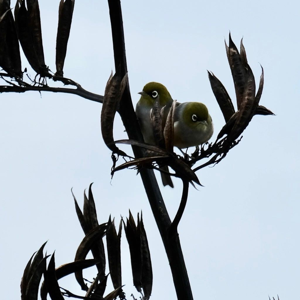 Two tiny birds with white rings round the eyes, on a flax spear.