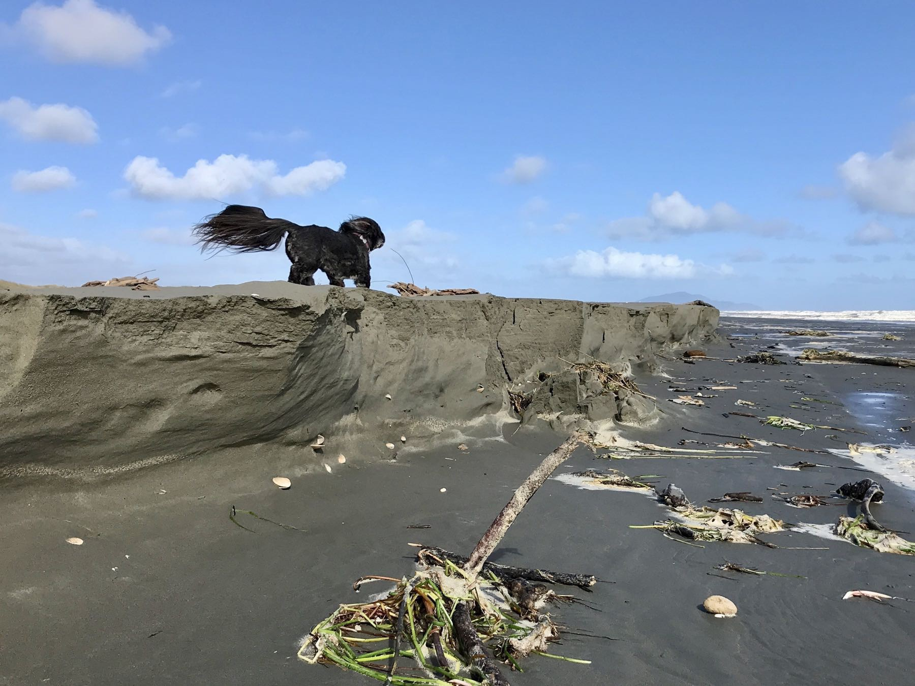 Small black dog on top of sand cliff. Her tail is streaming in the wind.