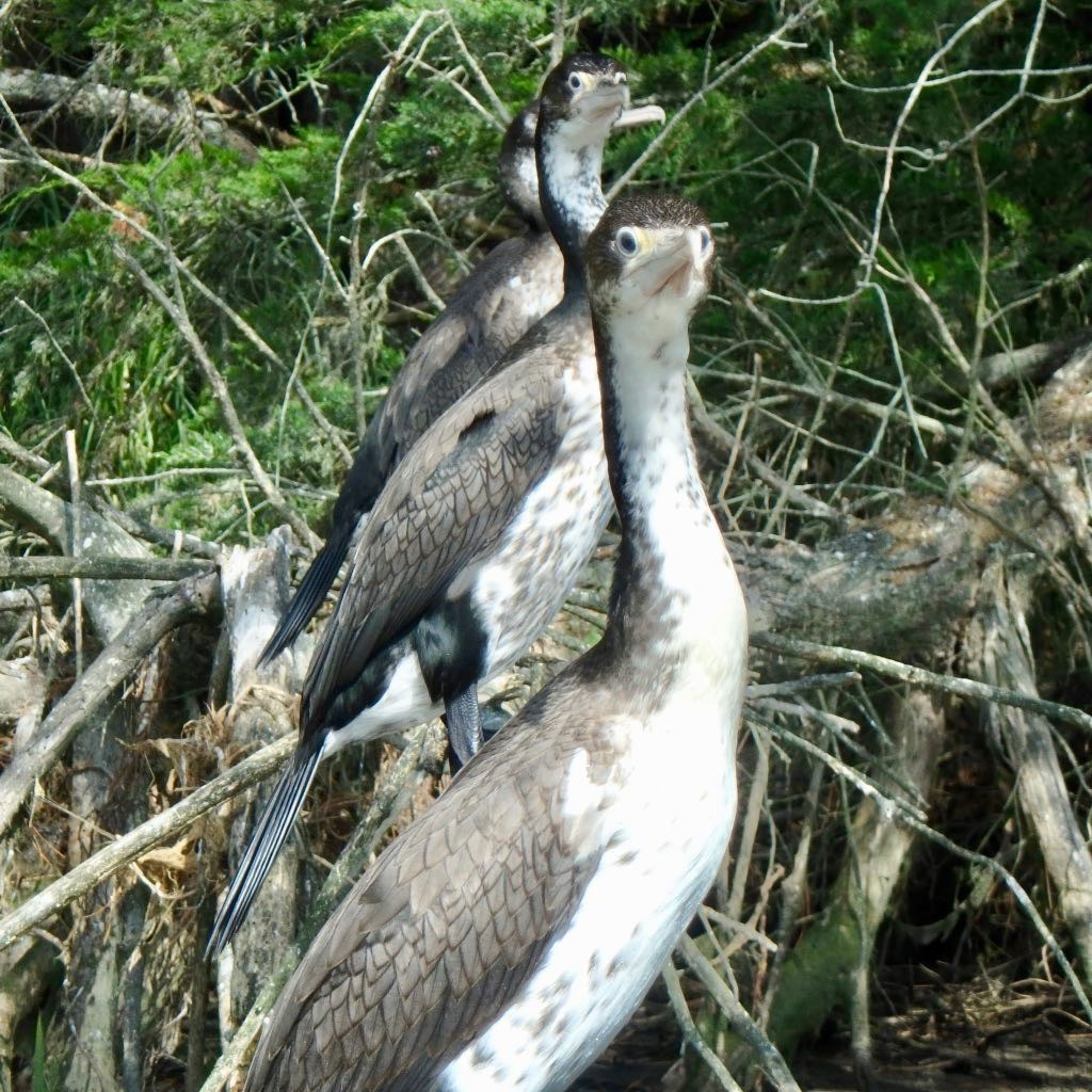 Closeup of 3 pied shags sitting on a branch.