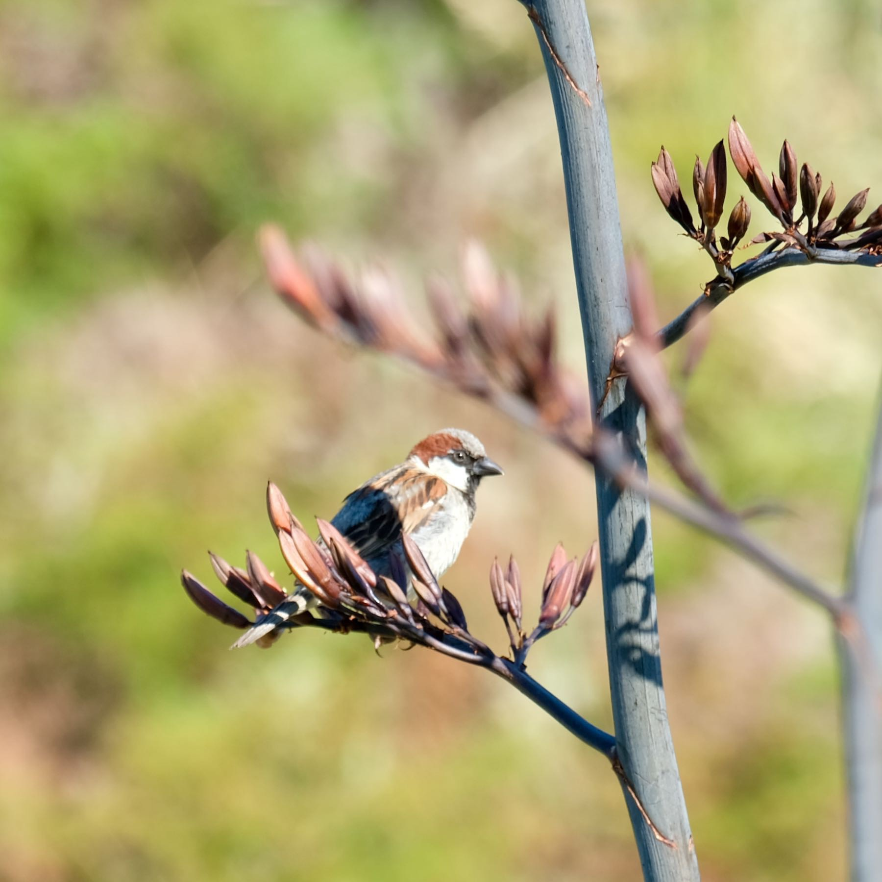 Sparrow sitting on a flax flower.