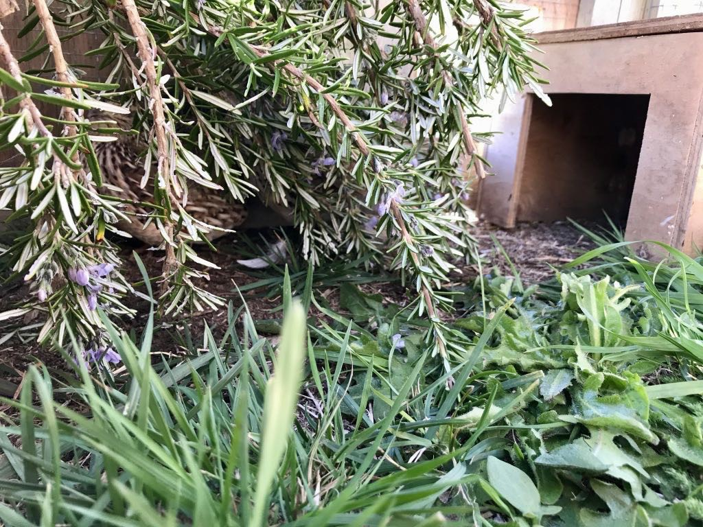 Stripy quail well hidden in the run behind some rosemary cuttings.