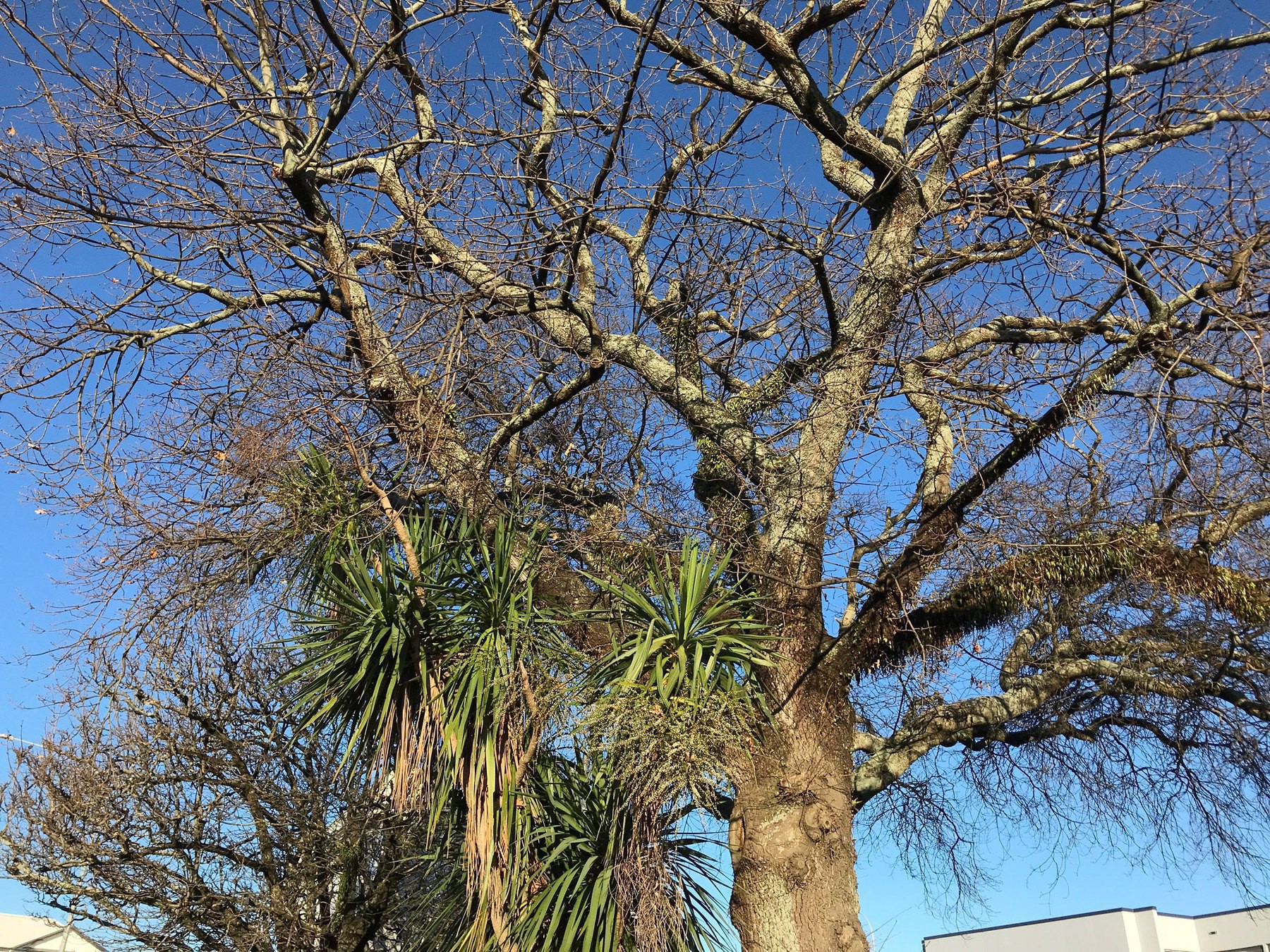 Green leaved cabbage tree and leafless winter branches of a large exotic tree.