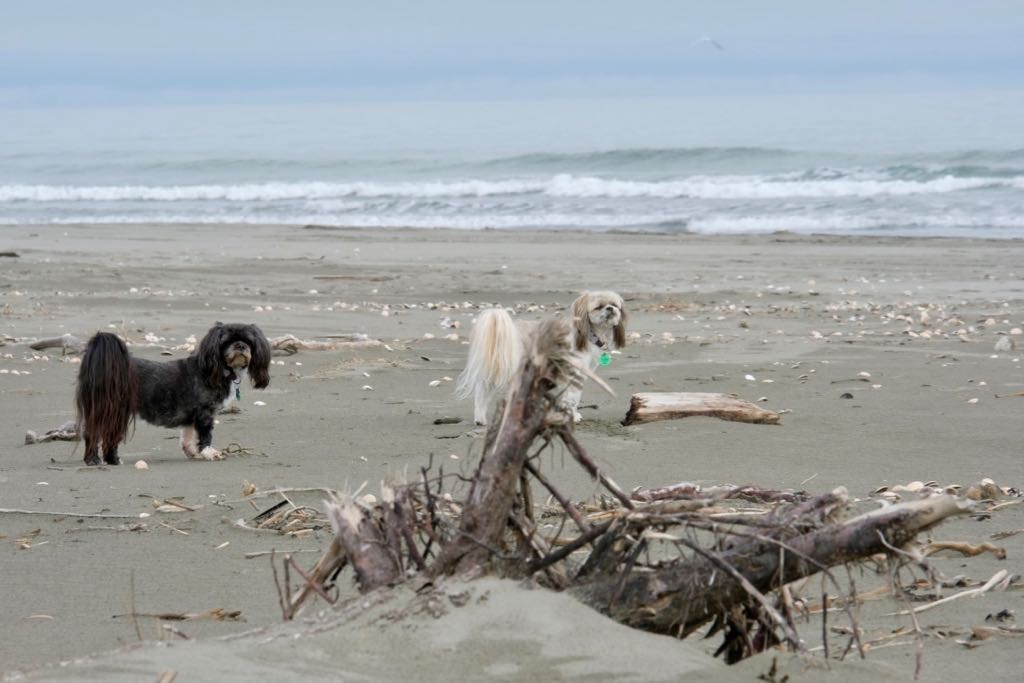 Two small dogs near a piece of driftwood and looking up, alert.