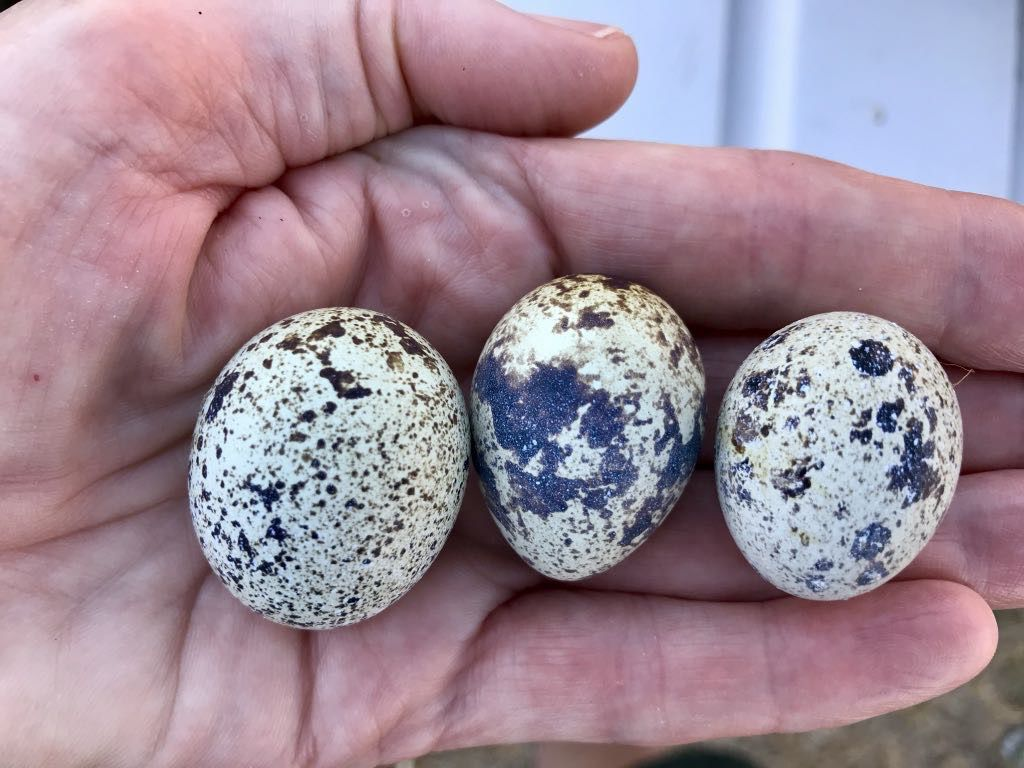 3 quail eggs in my hand: big one the left, normal size in the middle and comparatively tiny on the right.