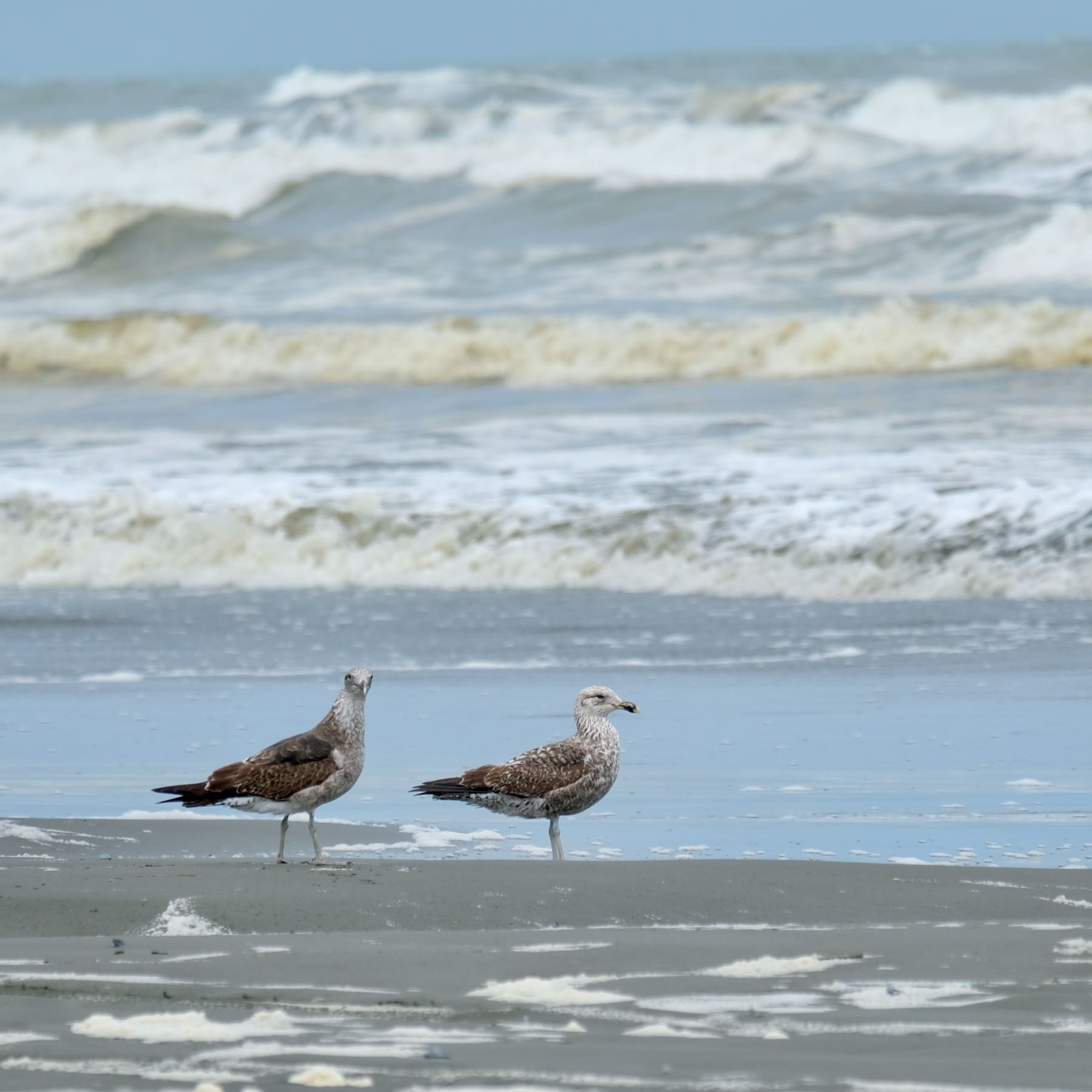2 brown and spotted gulls at the water's edge on the beach.
