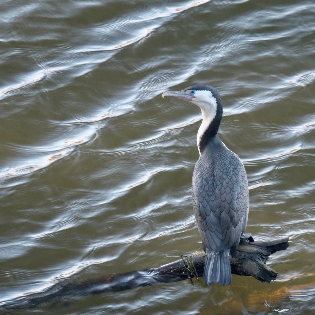 Pied shag on a tree branch just above the river.