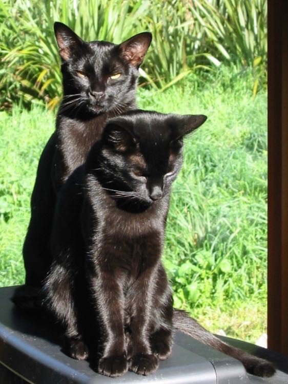 Two very shiny black cats sitting together facing the camera in front of a window.