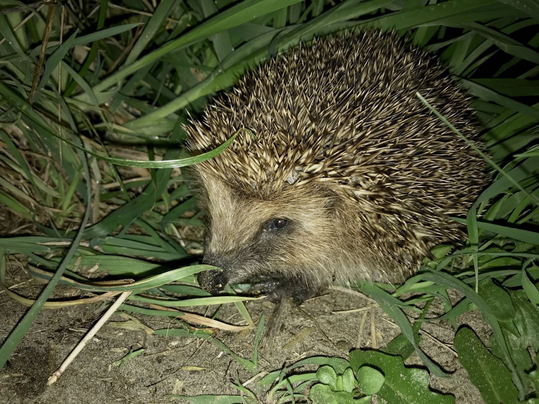 Hedgehog in the grass.