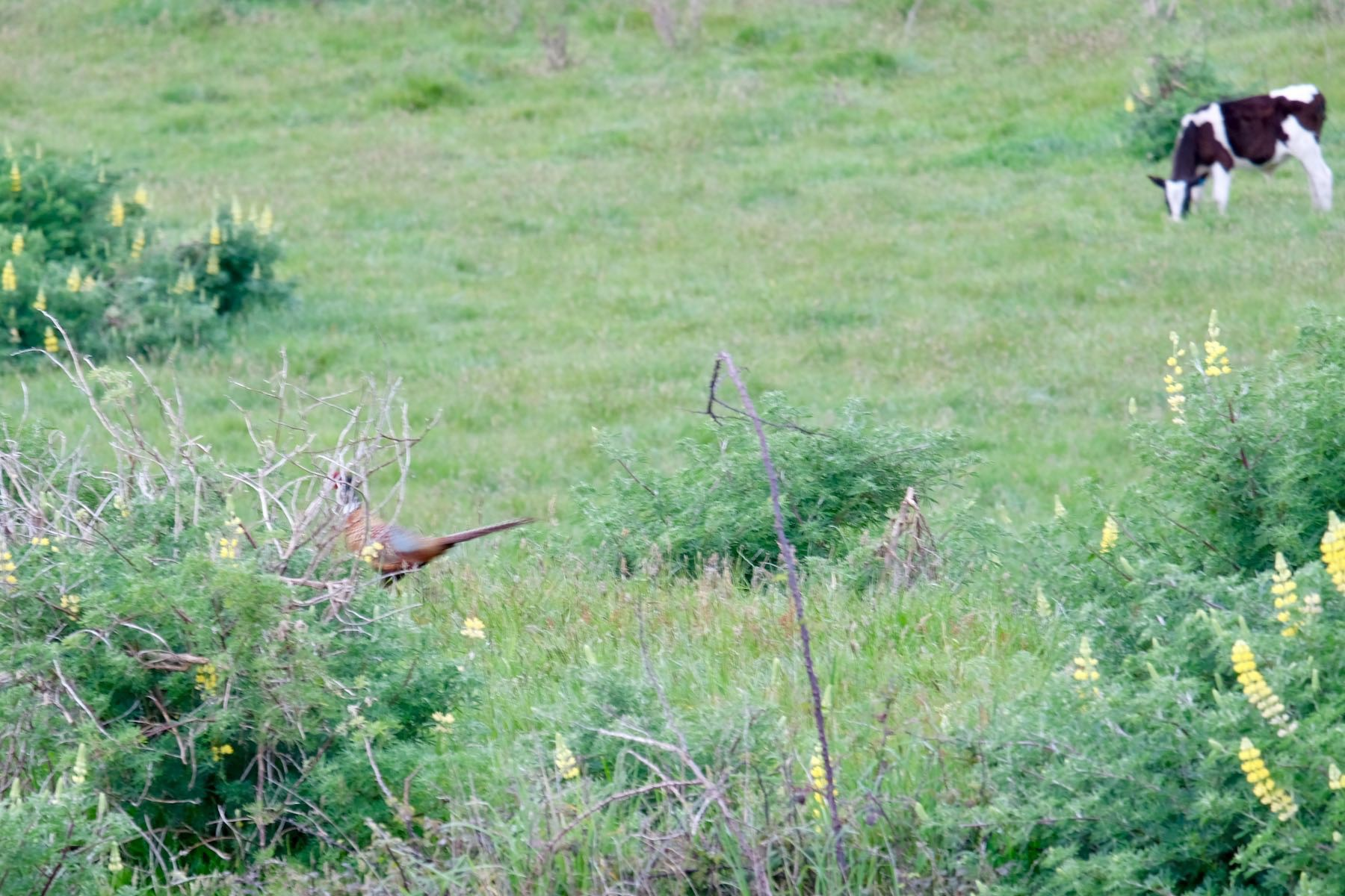 Pheasant partly obscured by a bush.