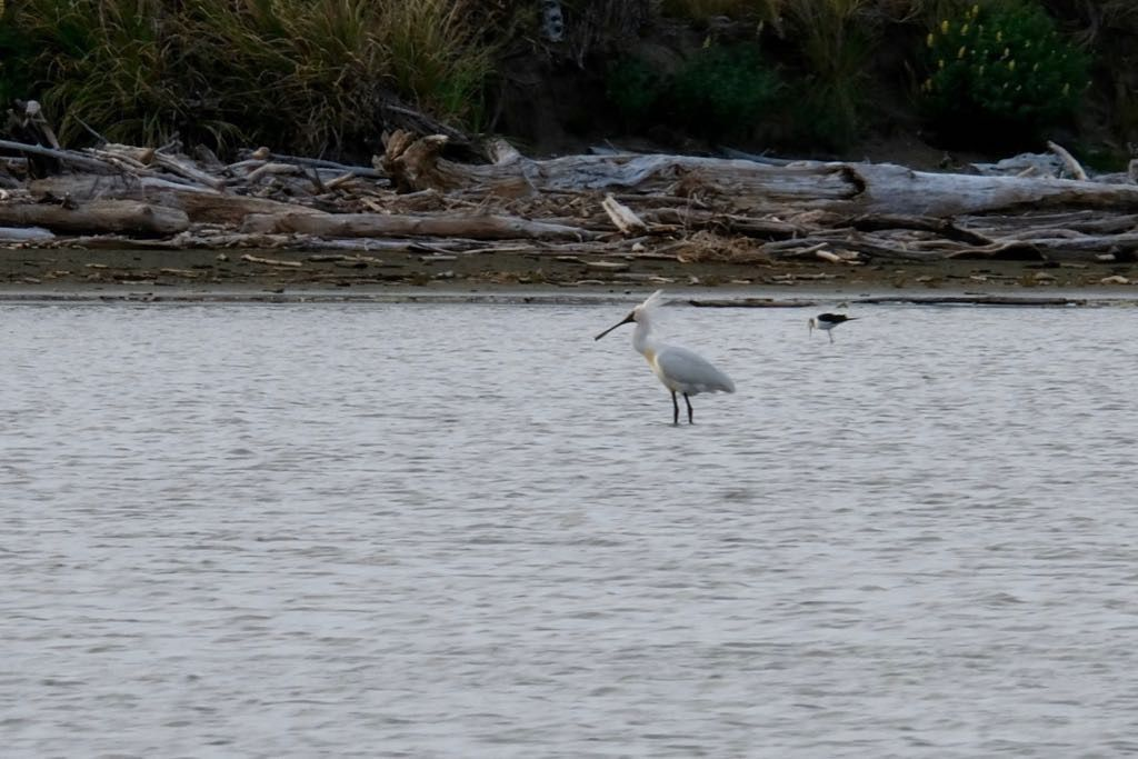 Royal Spoonbill bird with Pied Stilt in the background. Crest is up. Standing in water.