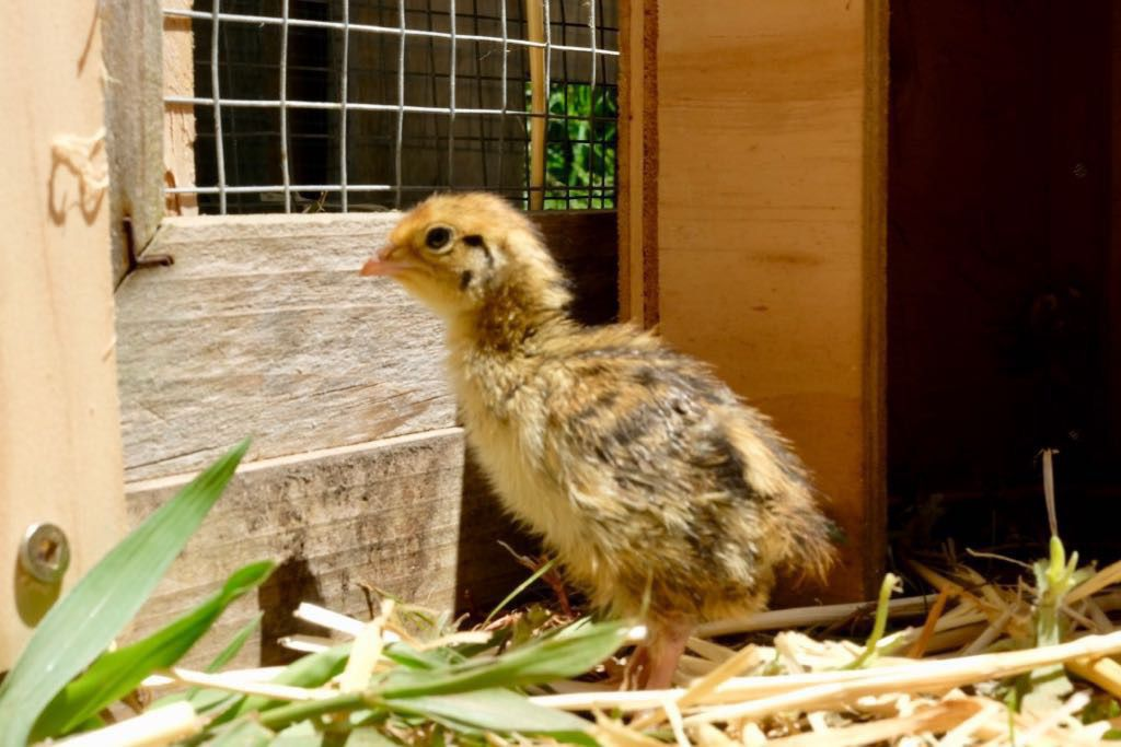 Tiny chick standing by the side of the run, facing out.