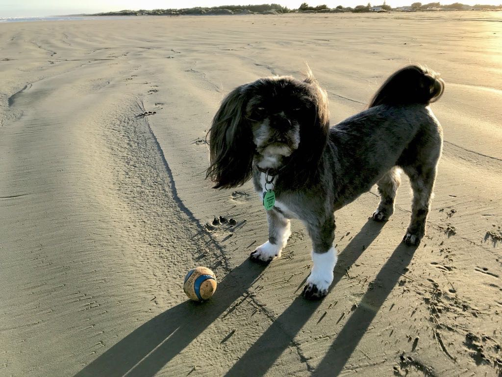 Small black dog standing on the beach, next to a ball.