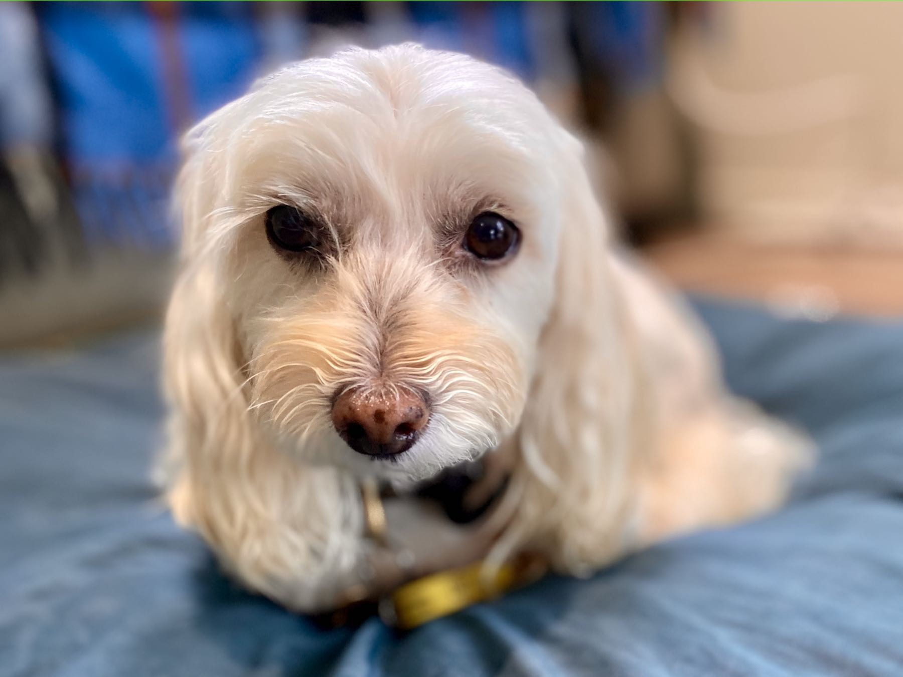 Small white dog on a blue rug and looking at the camera.