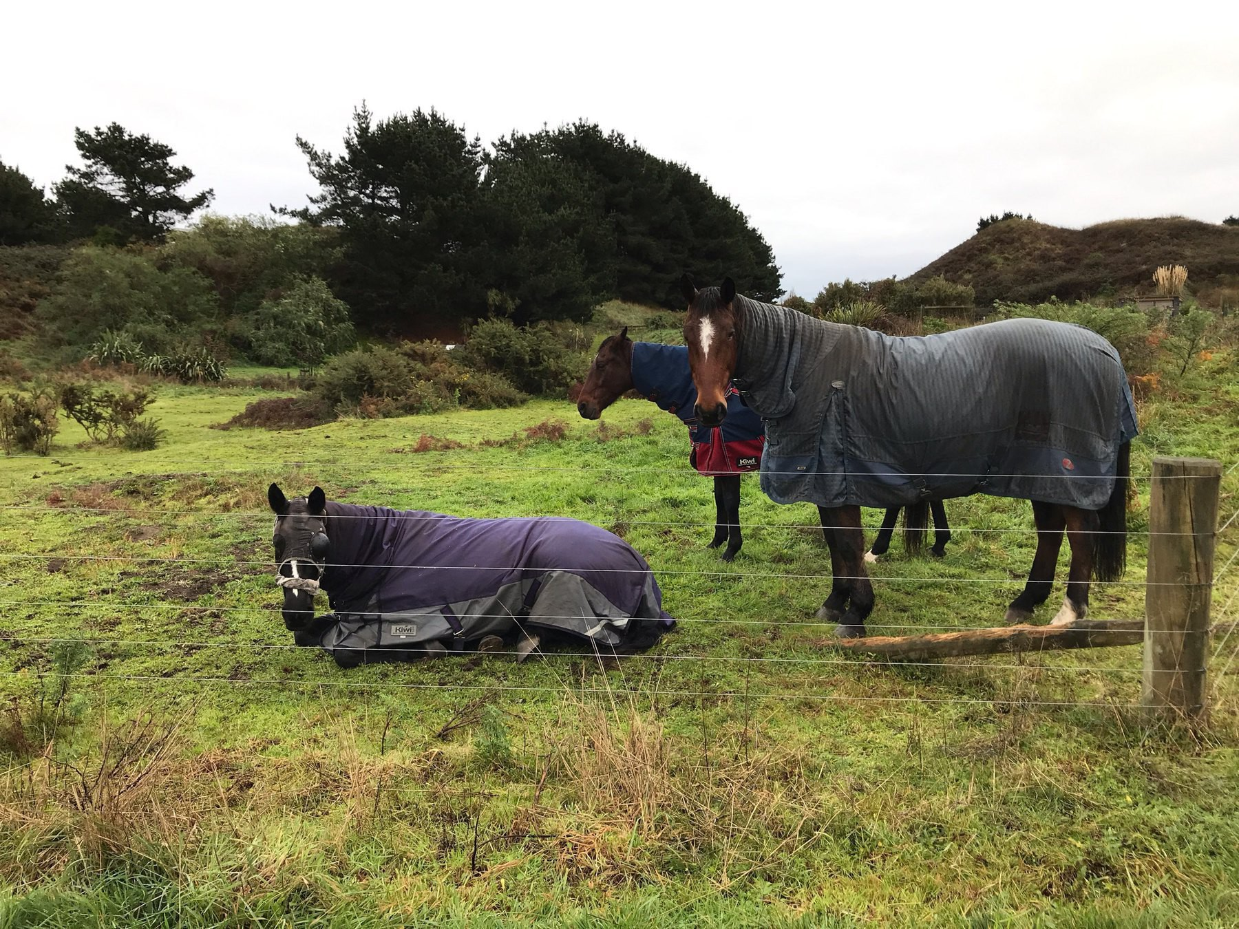One horse lying down with its feet tucked under it with two other horses standing by