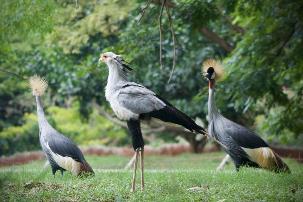 Secretary Bird and Crowned Cranes. Huge and elegant birds.