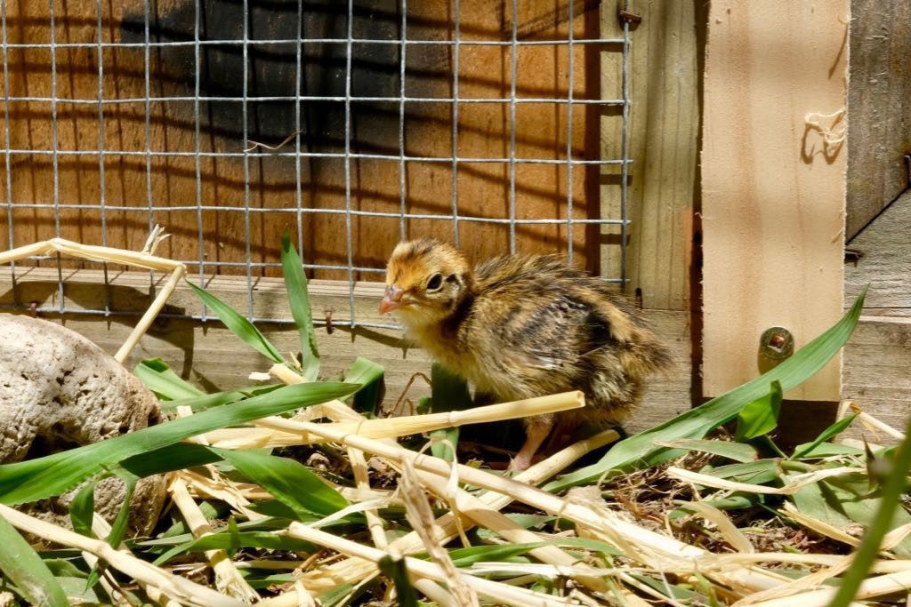 Tiny chick standing by the side of the run.