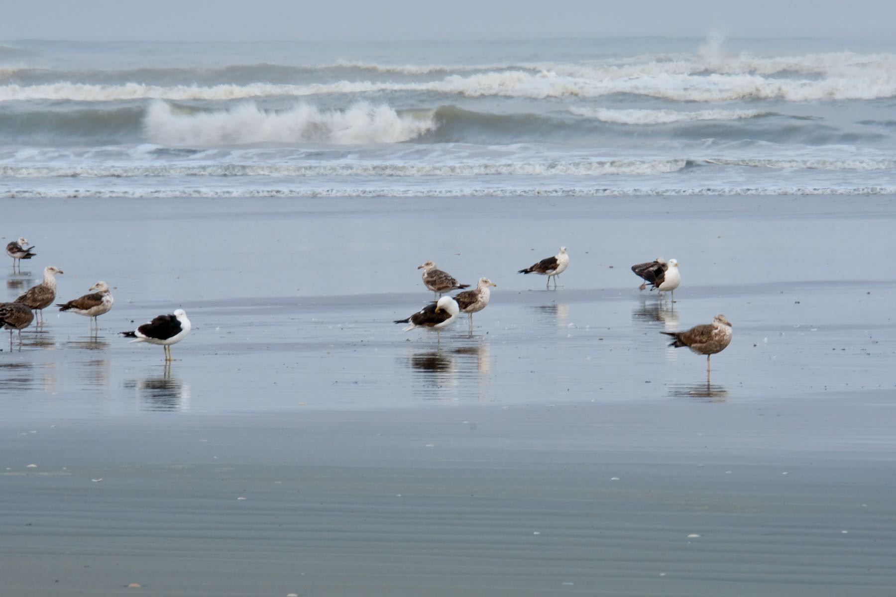 Black-backed gulls sitting by the sea.