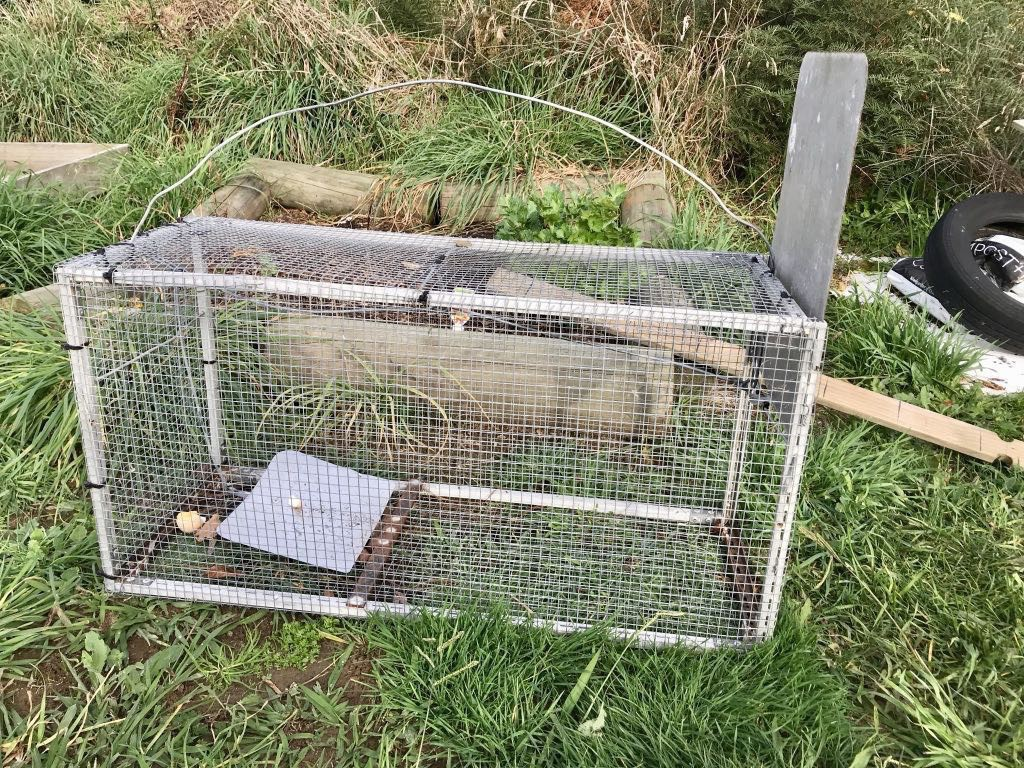 Cage with pressure plate and trap door for stoats.