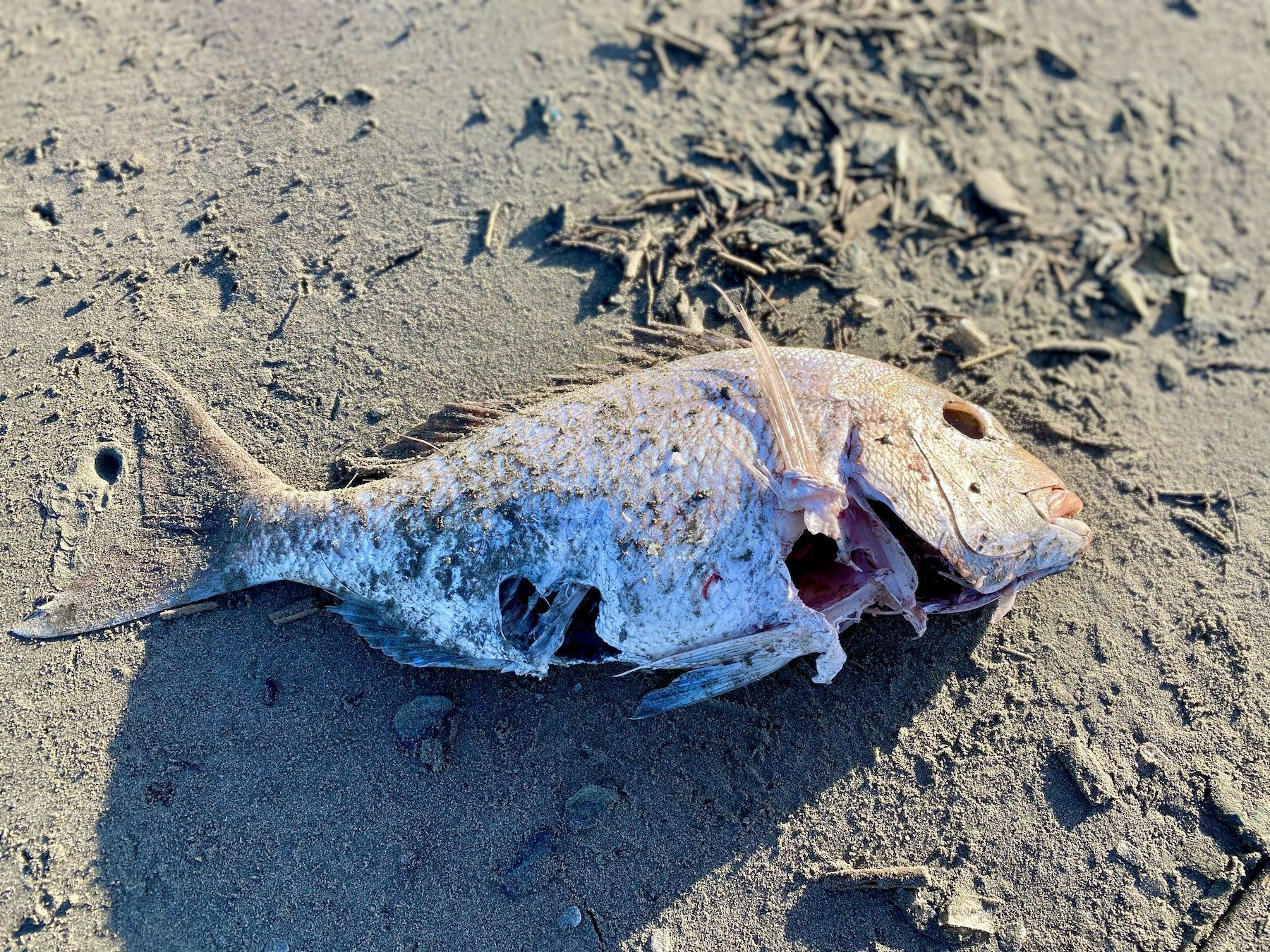 A  dead snapper - probably.