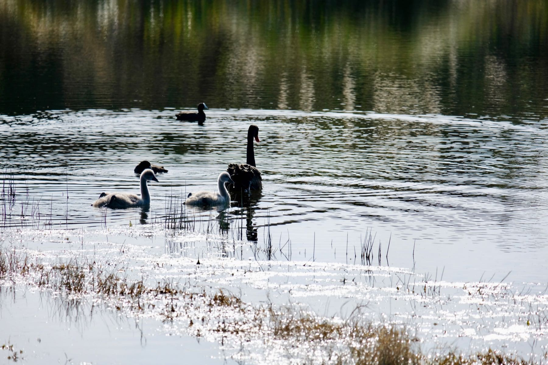 Black swan and two grey cygnets, swimming on a small lake, with ducks in the background.