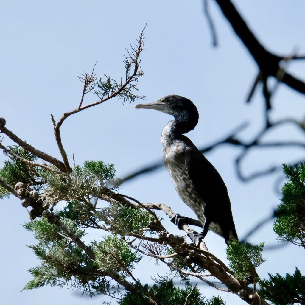 Shag standing on a branch.