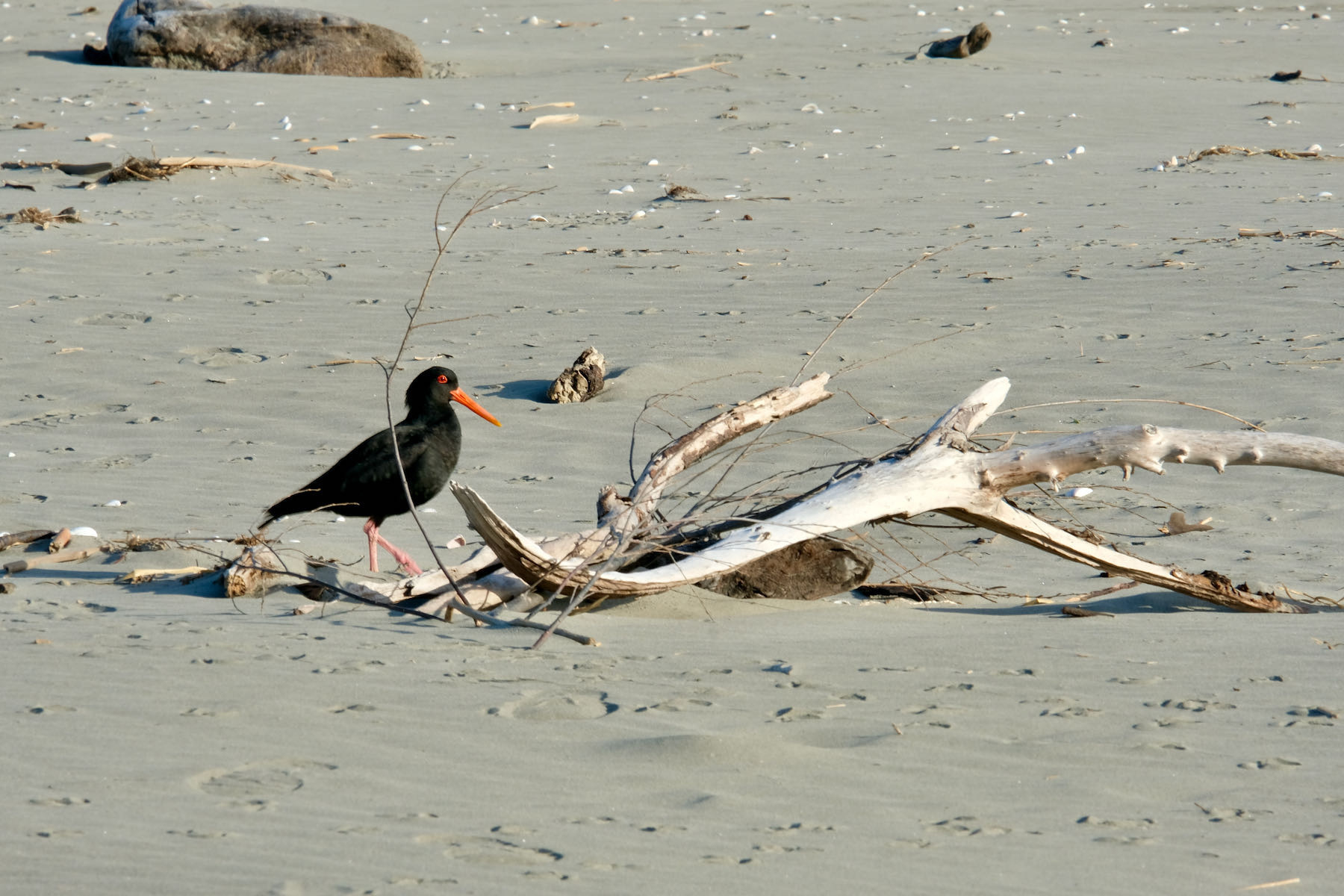 Black bird with orange bill and long legs: Variable Oystercatcher.