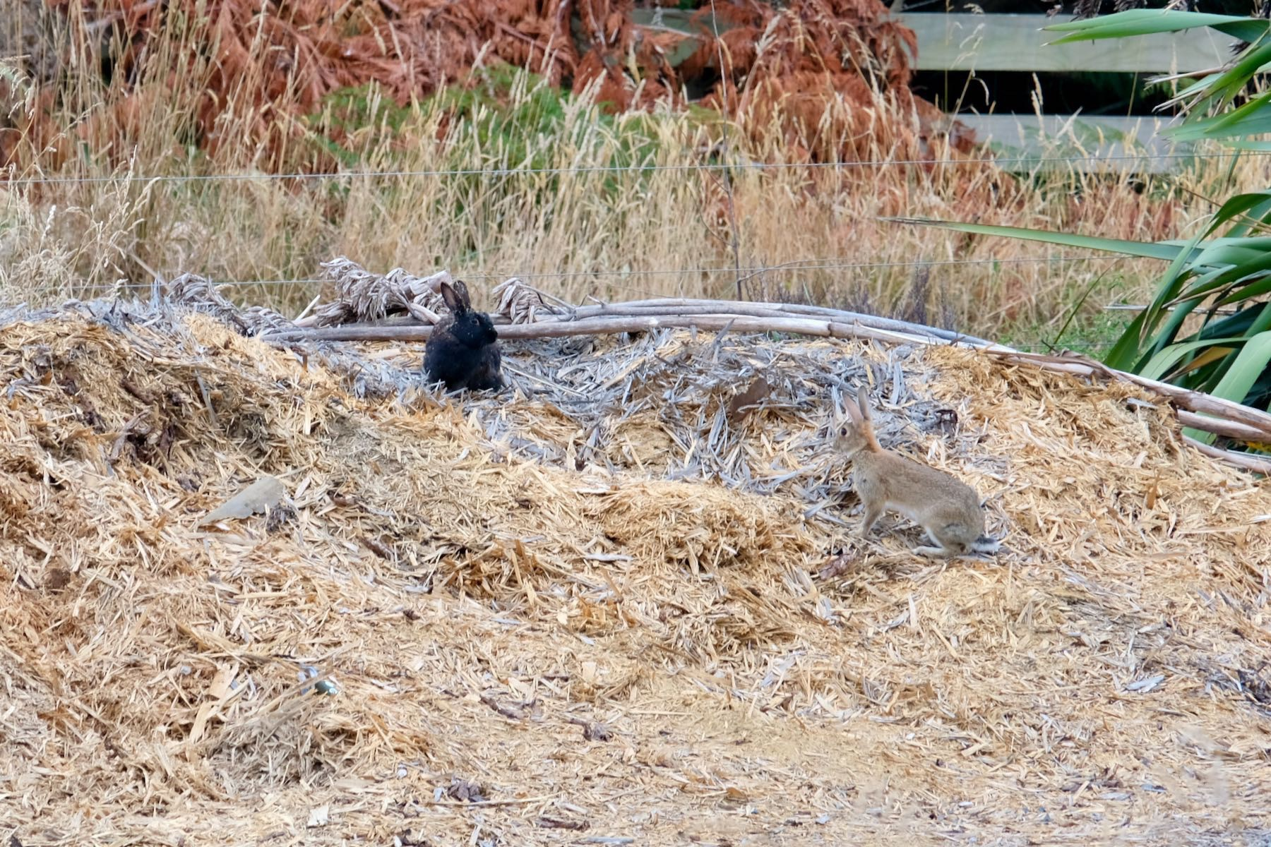 Black rabbit and grey rabbit on top of a pile of mulch.