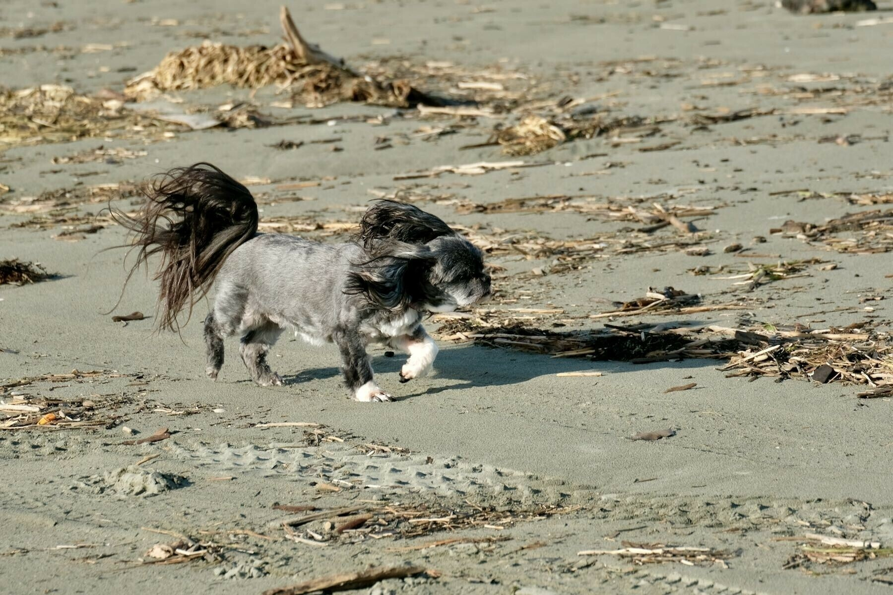 Small black dog running, with ears and tail flying.