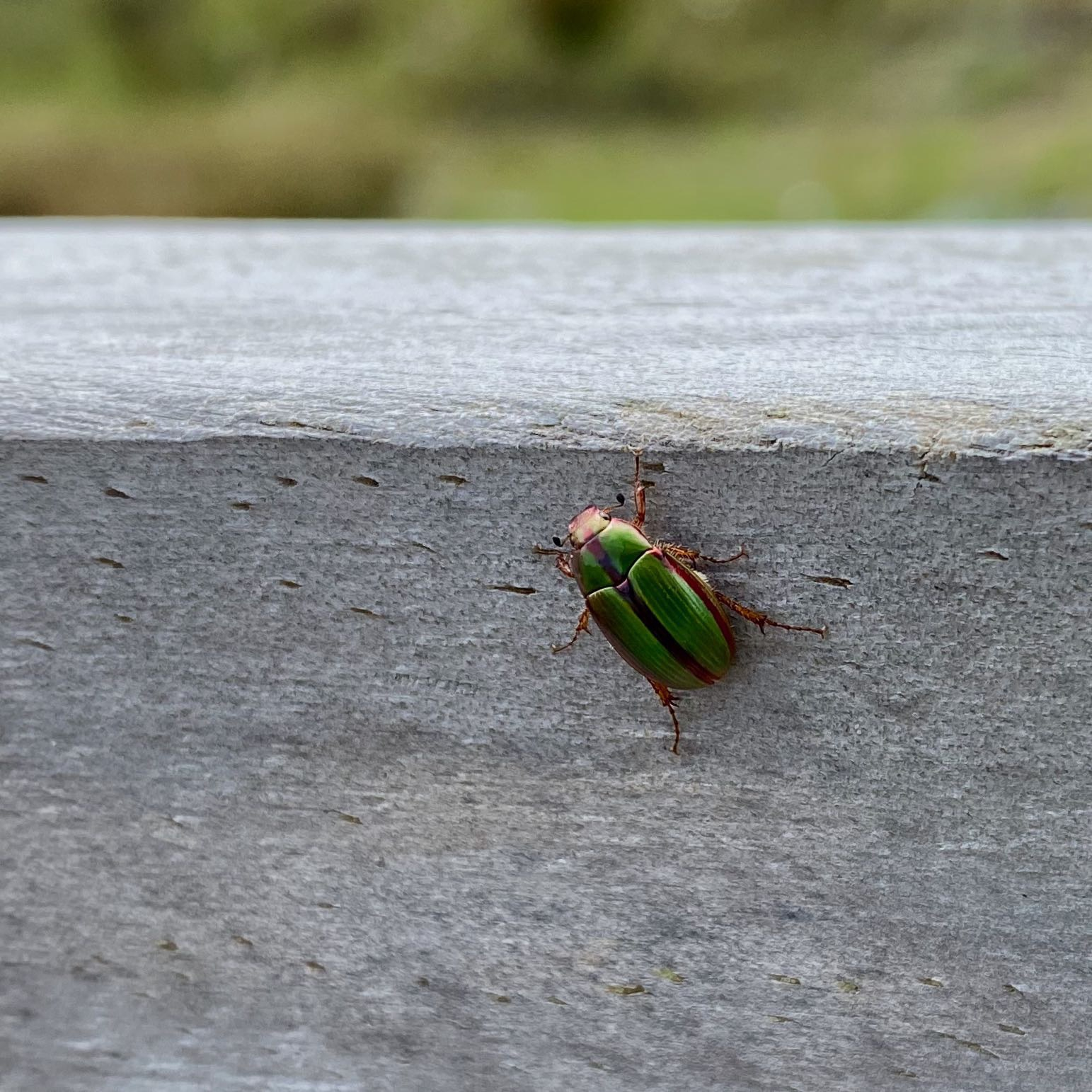 Bright green beetle on a wooden railing.