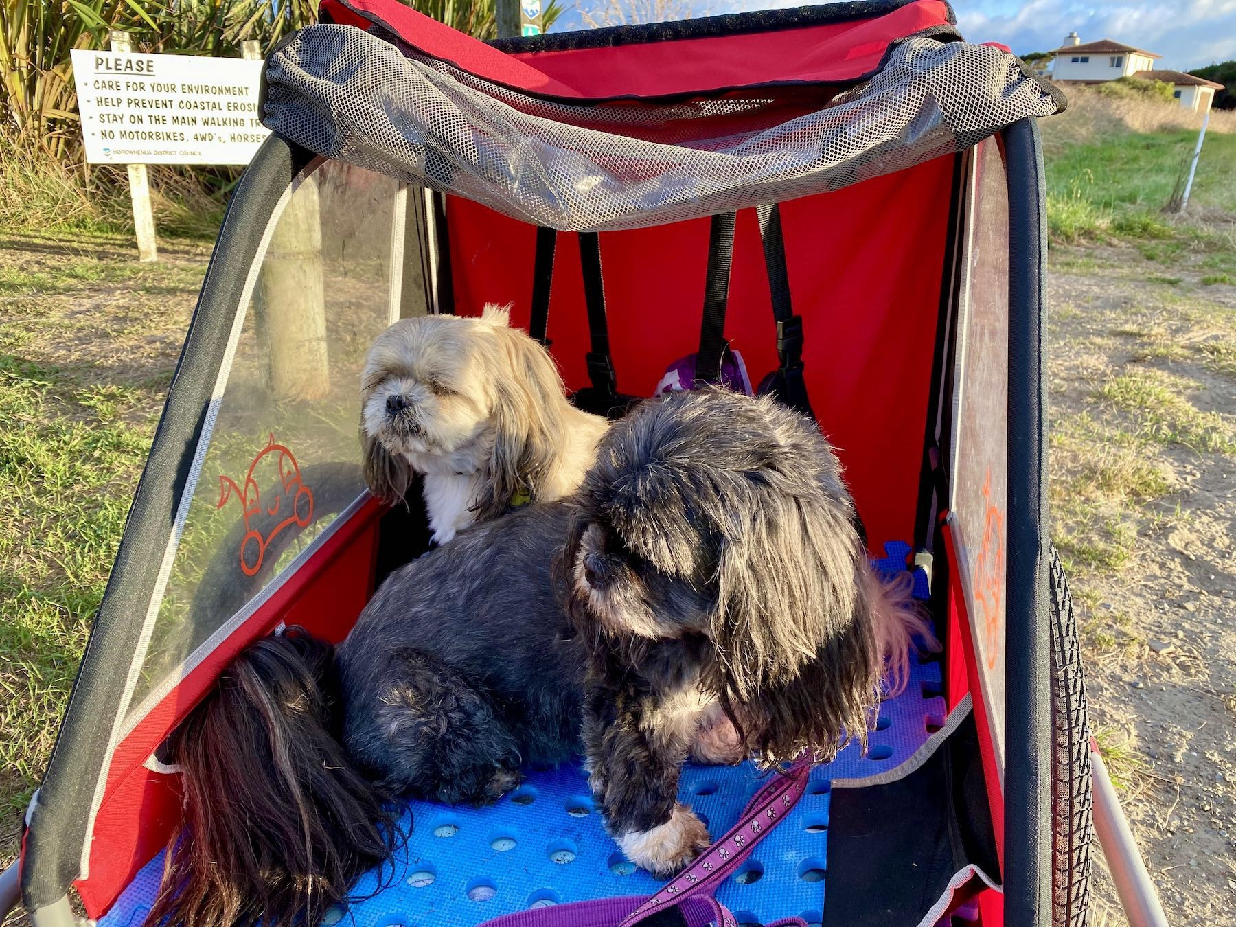 Two small dogs in a bicycle trailer.