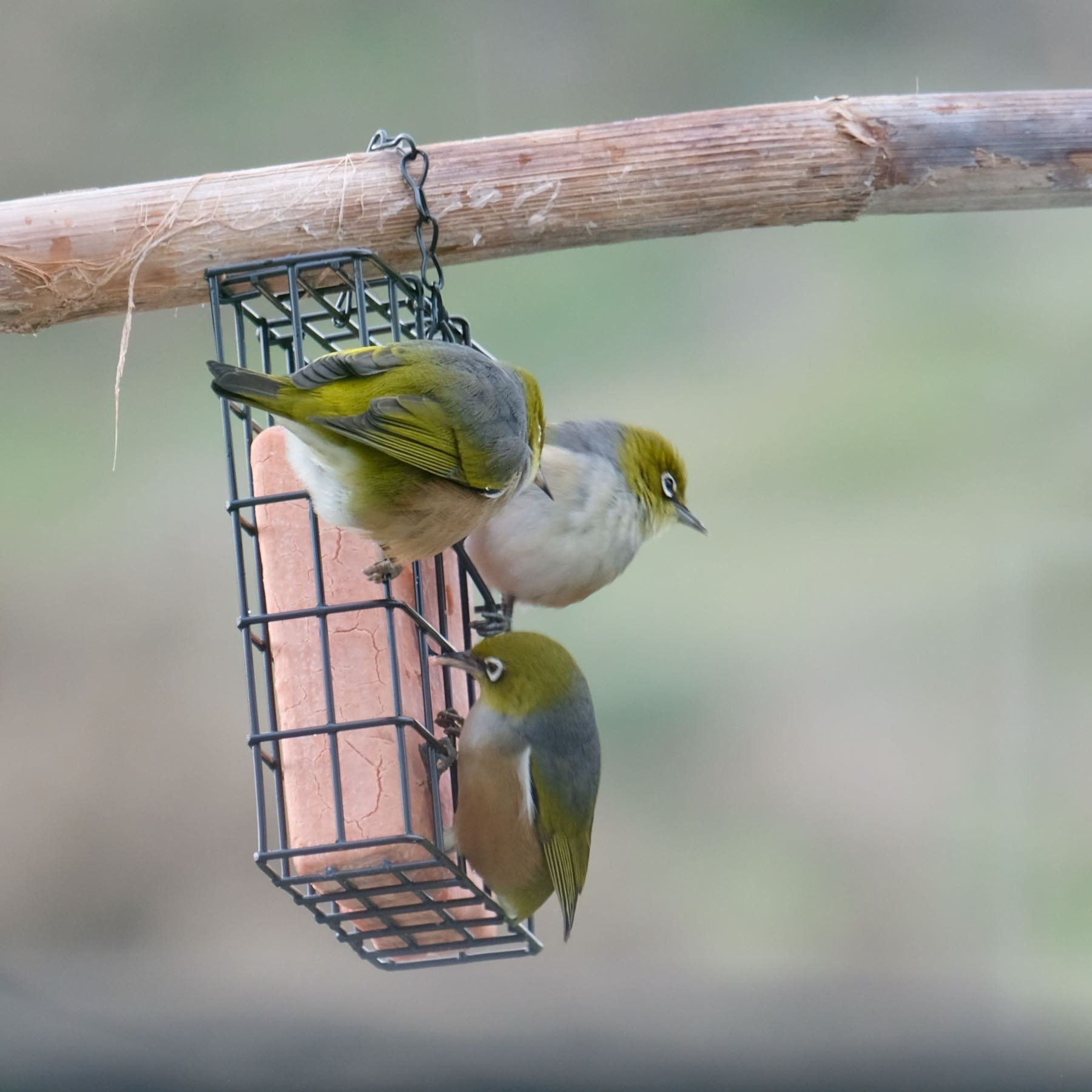 Three tiny birds at a feeder.