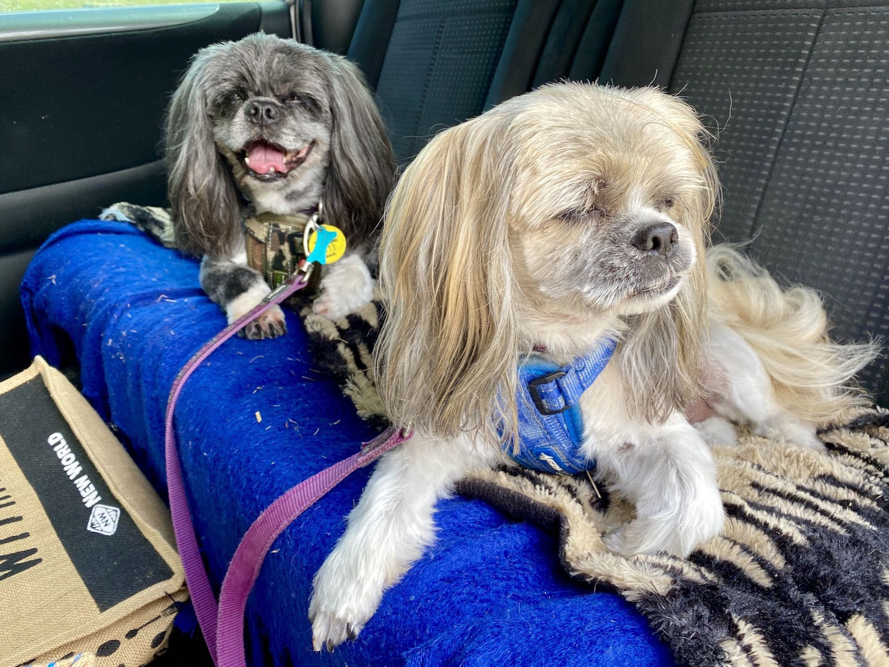 Two small dogs on a car seat.