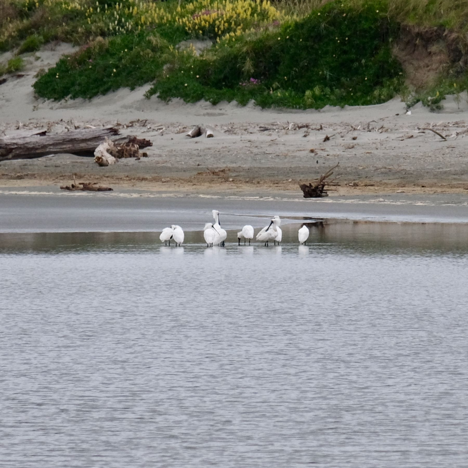 9 large white birds in shallow estuary water.