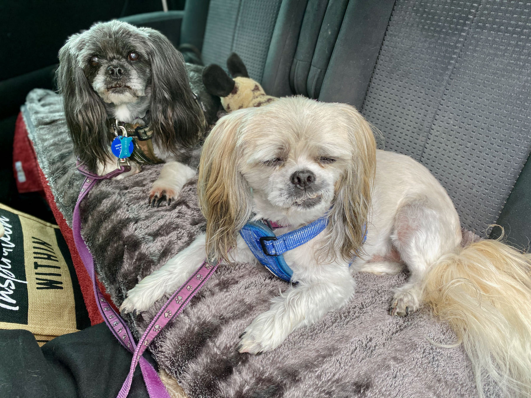 Two small freshly groomed dogs in a car.