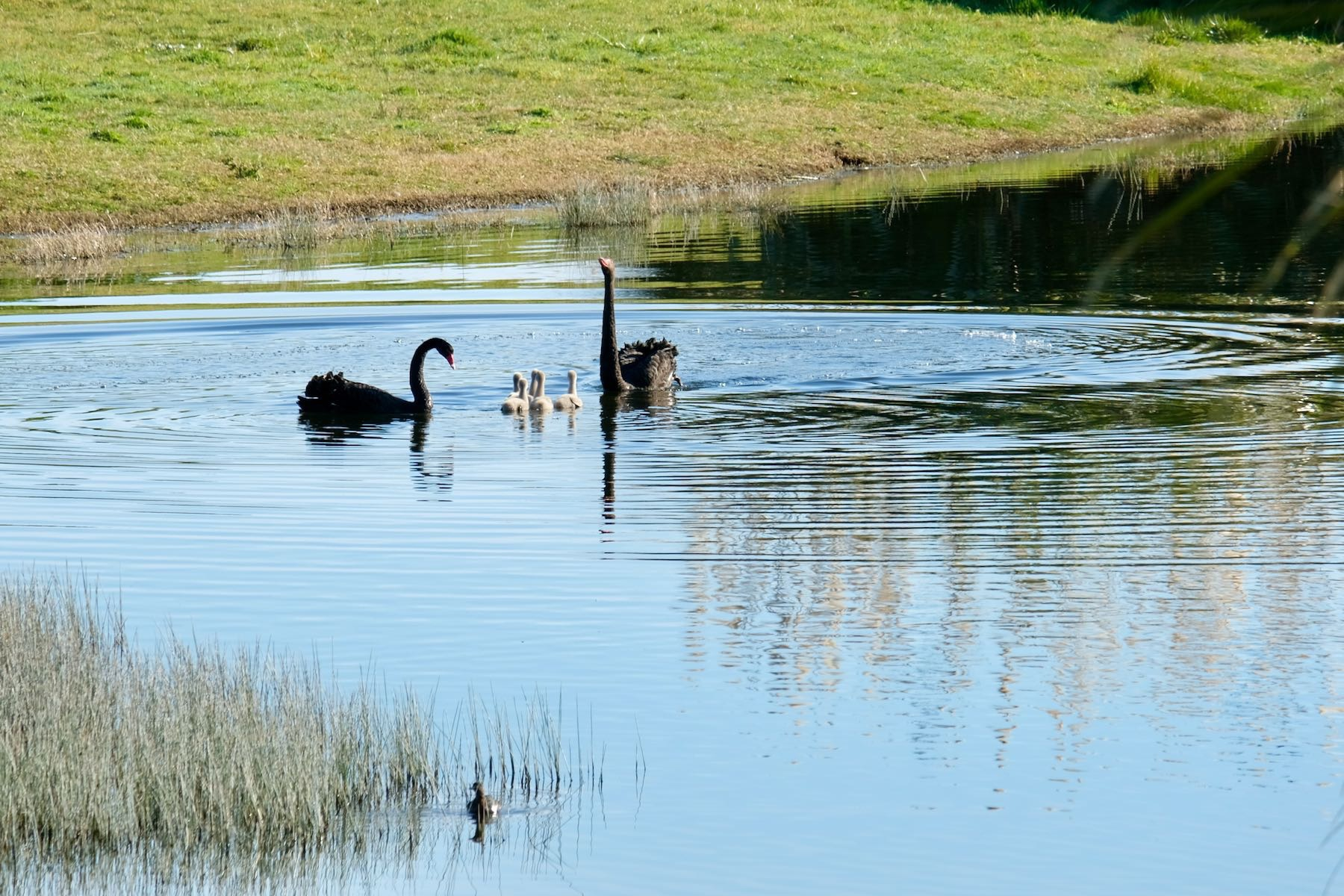 Two black swans on a lake with 5 white cygnets between them and another water bird in the foreground.
