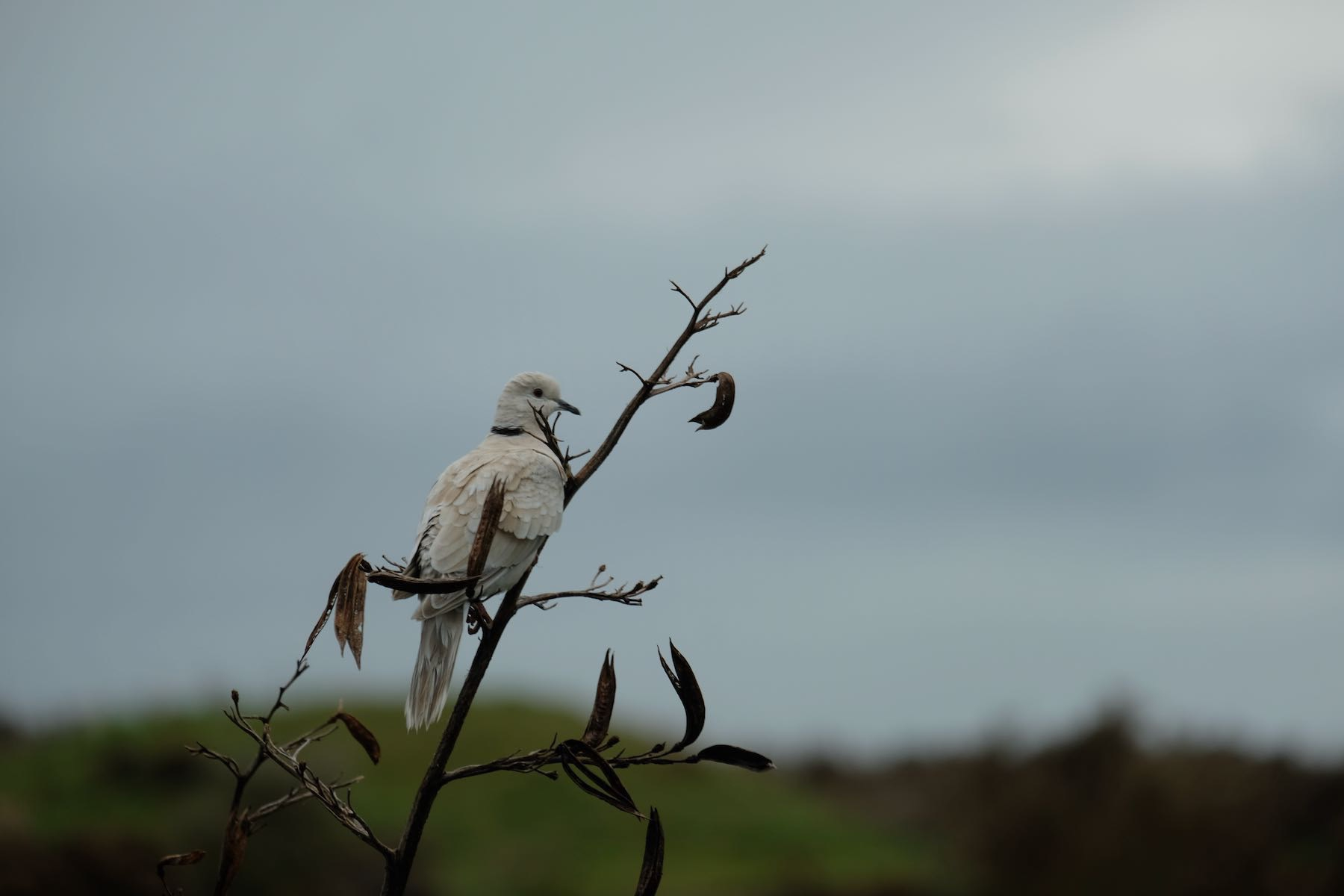 Dove on a flax spear with grey sky behind.