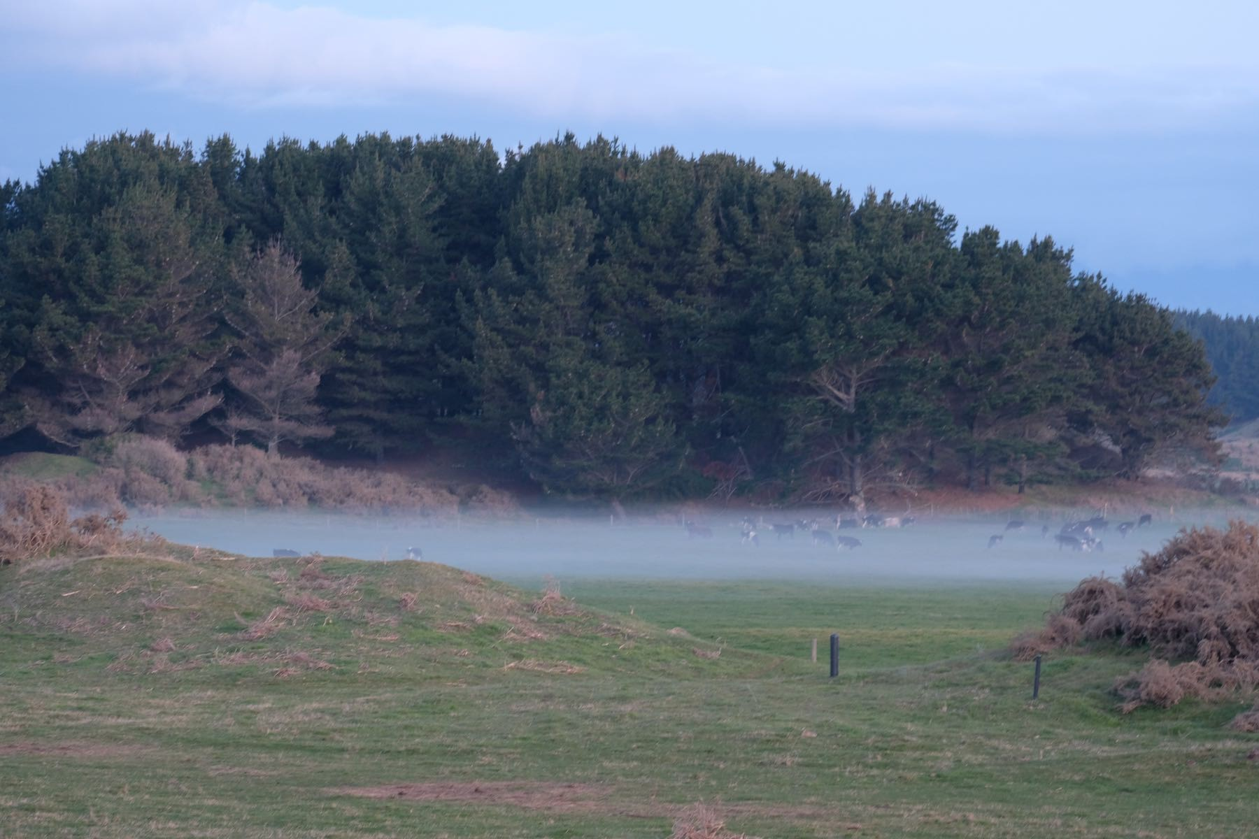 Paddocks, cows and a layer of ground fog.