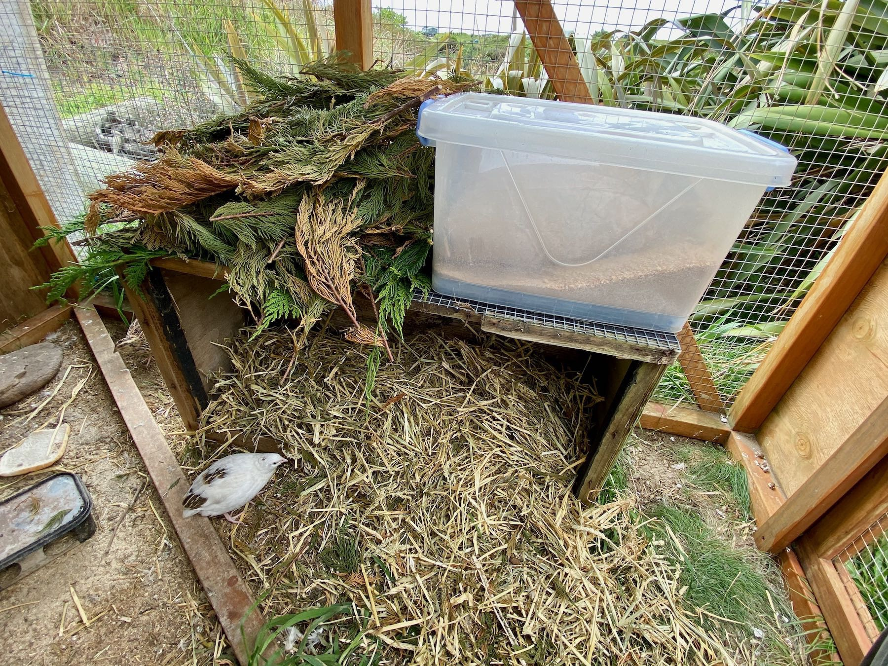 Taller box with straw inside and macrocarpa twigs on top, also a white plastic box of food on top.