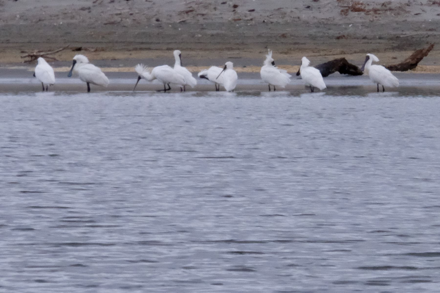 9 large white birds in shallow estuary water.  Zoomed in a bit more.