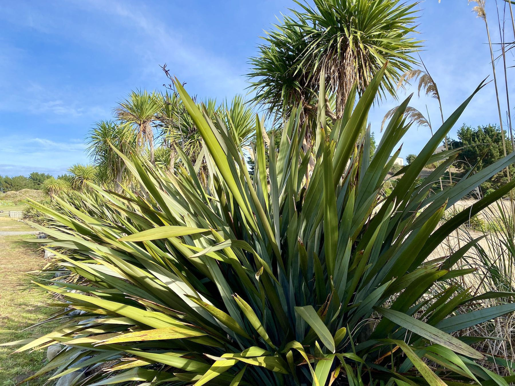 Flax plant with cabbage tree behind.