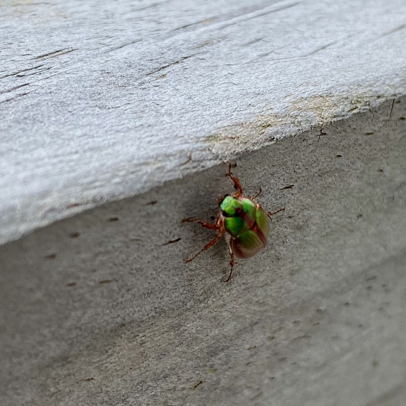 Bright green beetle on a wooden railing, another view.