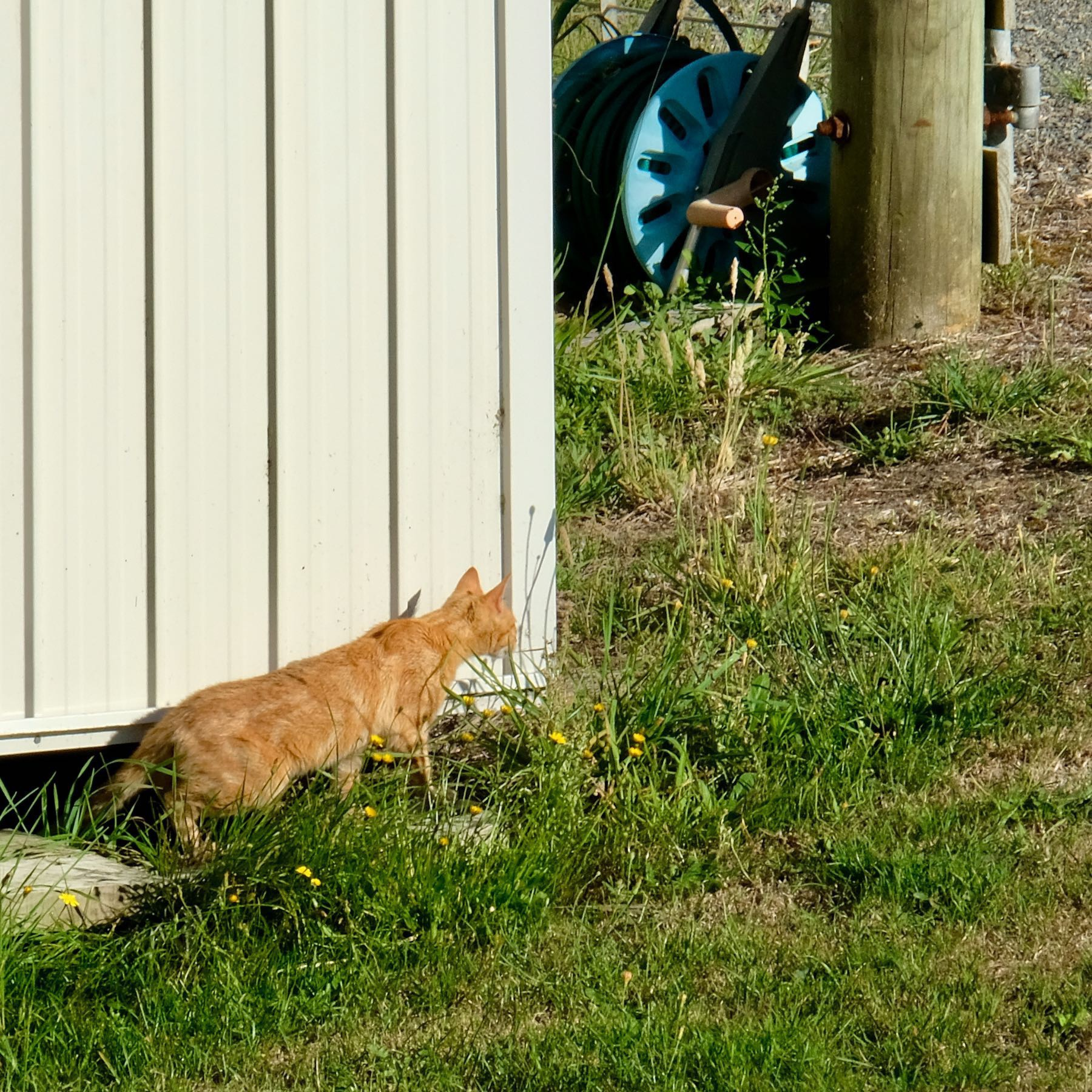 Ginger cat by a garden shed.
