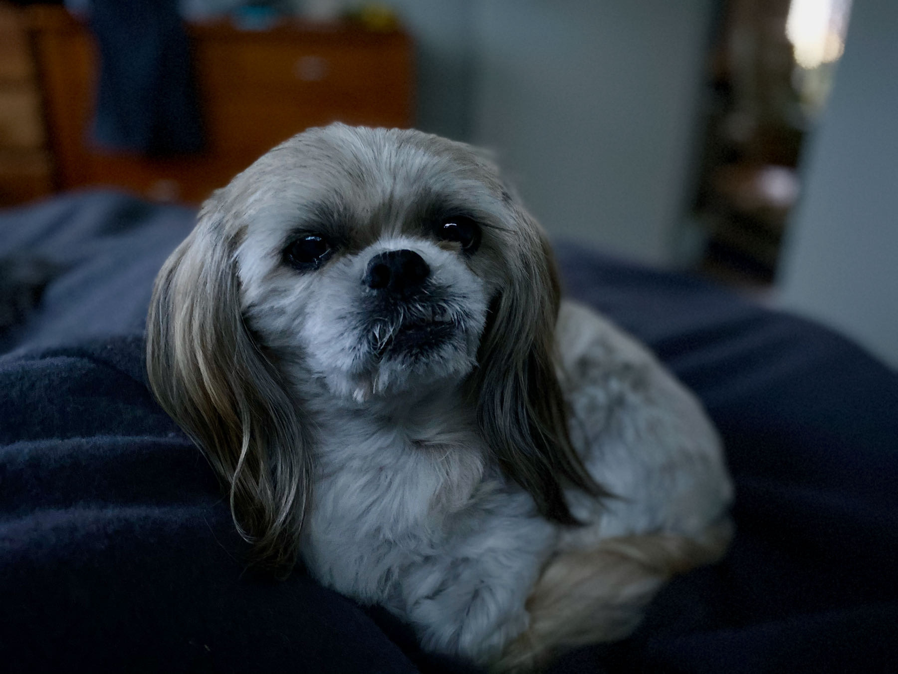 Small white dog on the bed, in a darkish room.