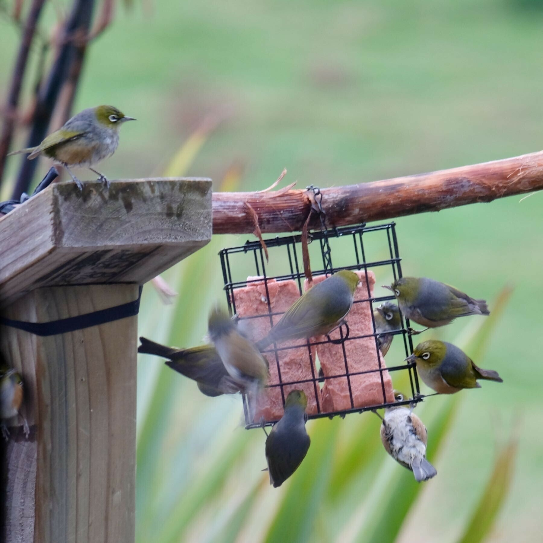 Closer view of numerous birds at the feeder.