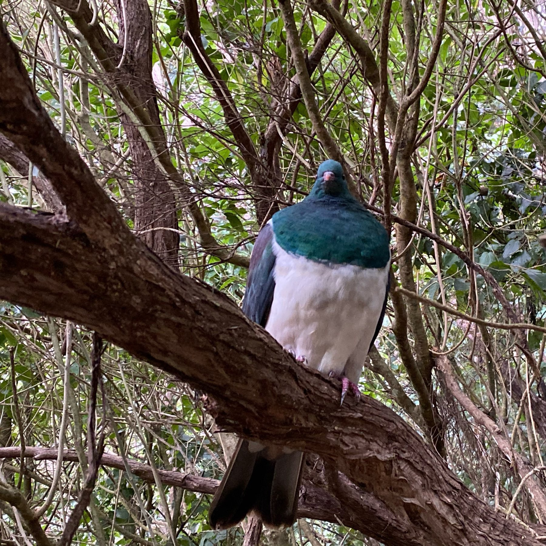 Large wood pigeon on a branch.