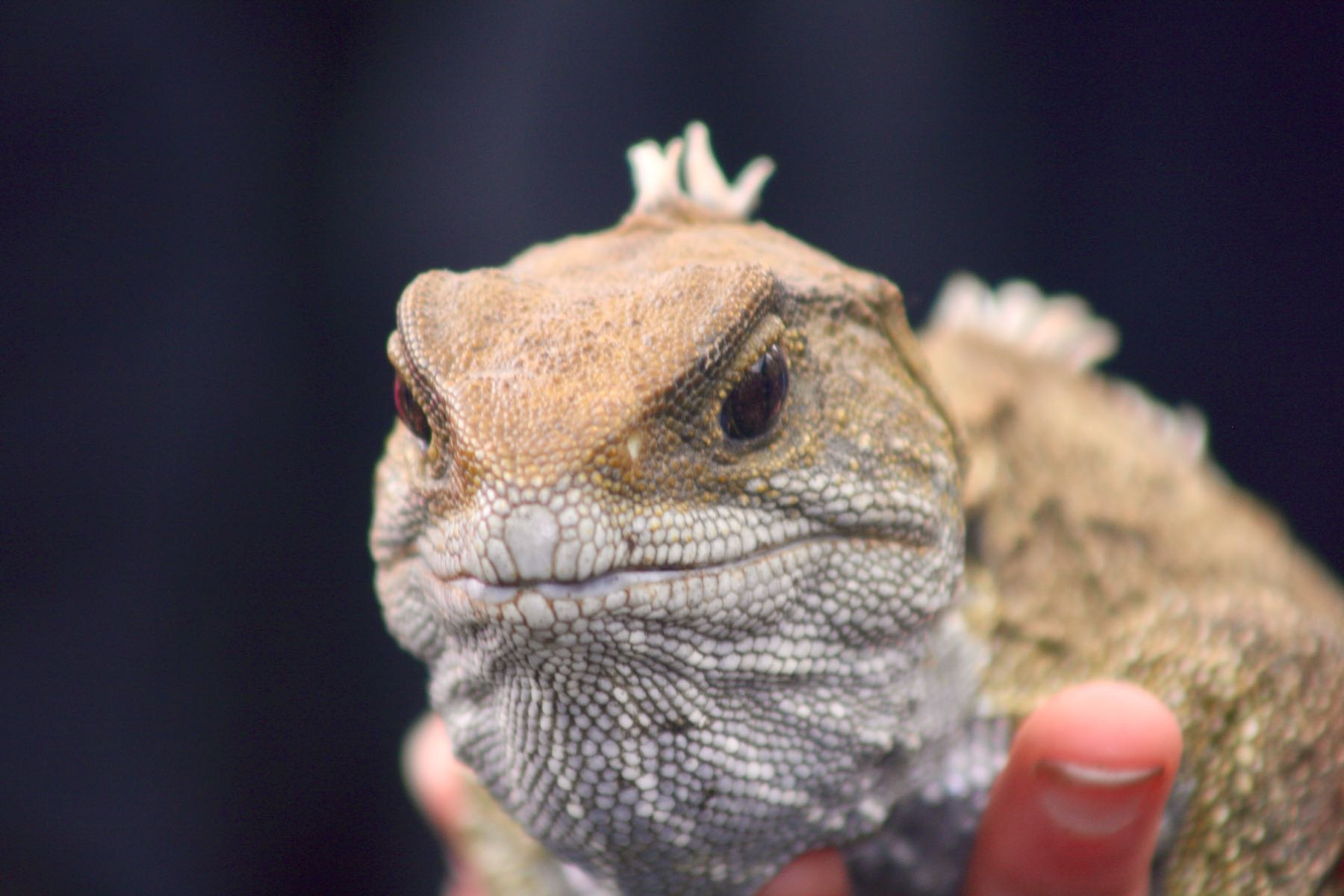 Closeup of tuatara face.