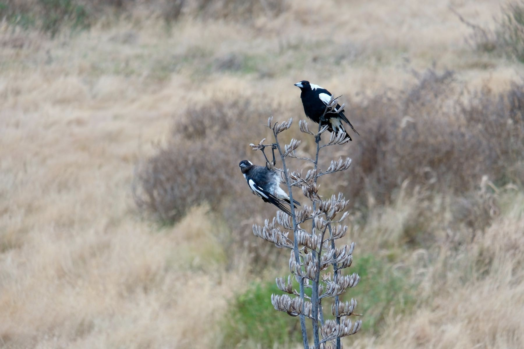 Two magpies on flax spears, one upside down.