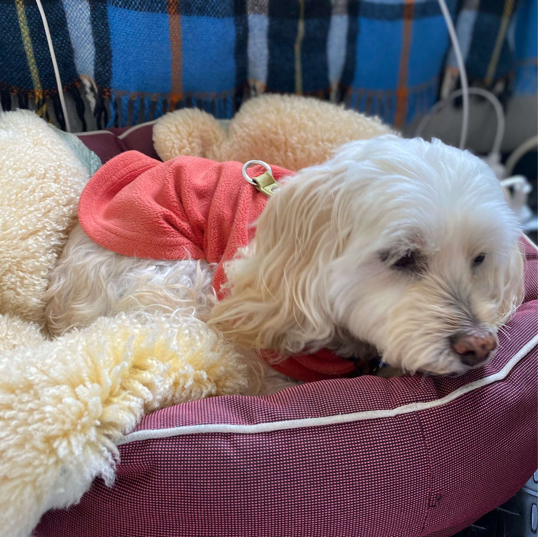 Small white dog in a bed.